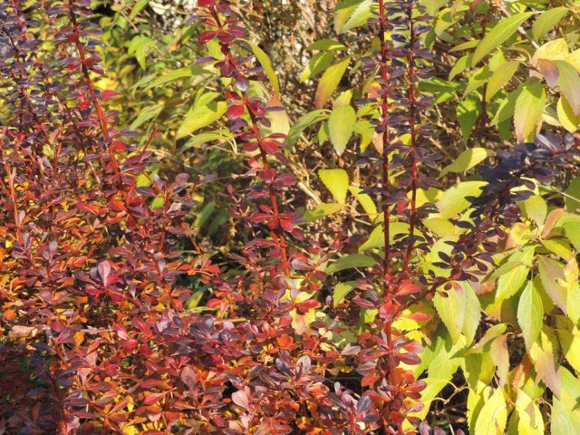 Jesienią w ogrodzie zieleń miesza się z czerwienią i żółcią