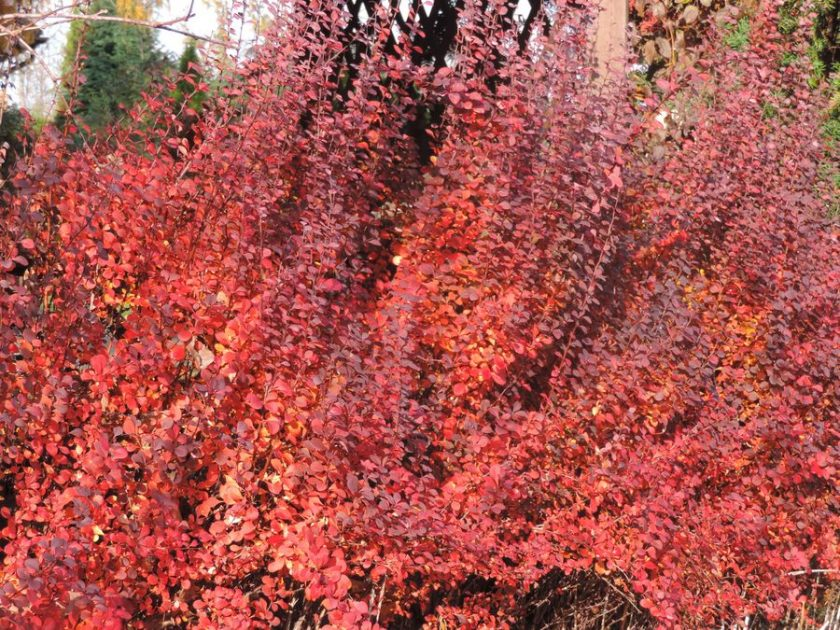 Jesienna czerwień w ogrodzie