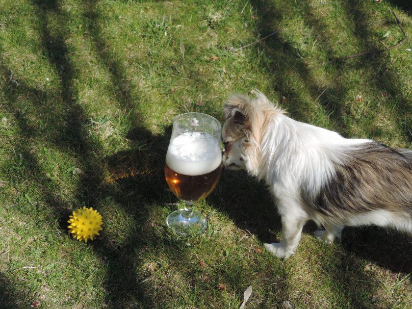 Lusia ciekawa jest każdej rzeczy w ogrodzie, na szczęście dla mnie nie gustuje w piwie