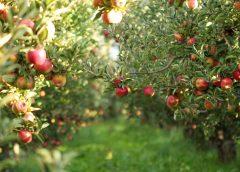 TOP 5 drzew owocowych do ogrodu