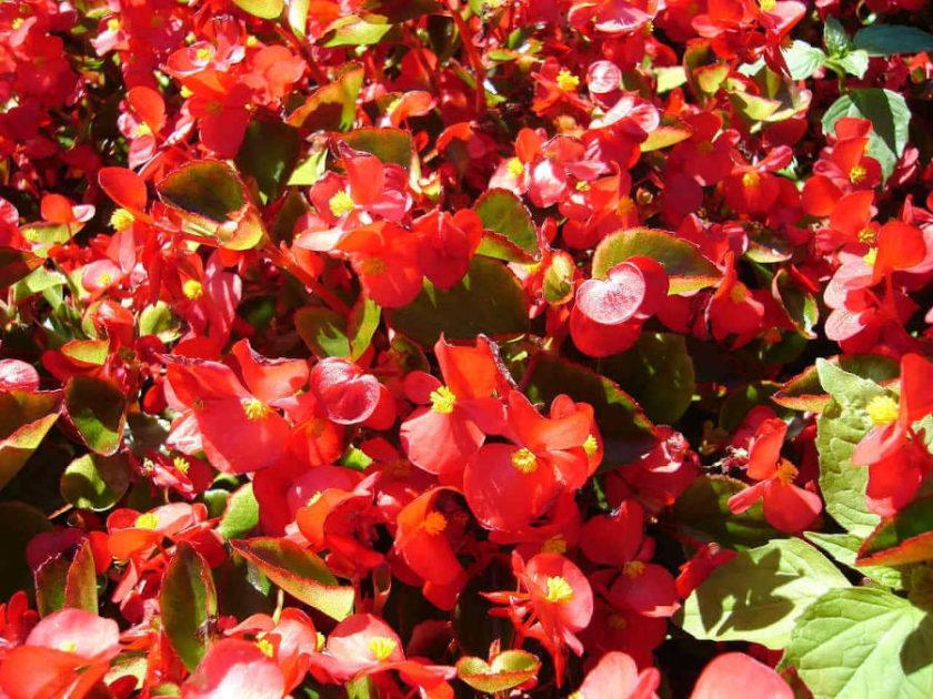 Begonie - idealne kwiaty na taras lub balkon