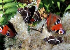 Motyle w ogrodzie, jak zwabić motyle do ogrodu