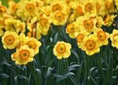 Narcyzy – piękne kwiaty ogrodowe