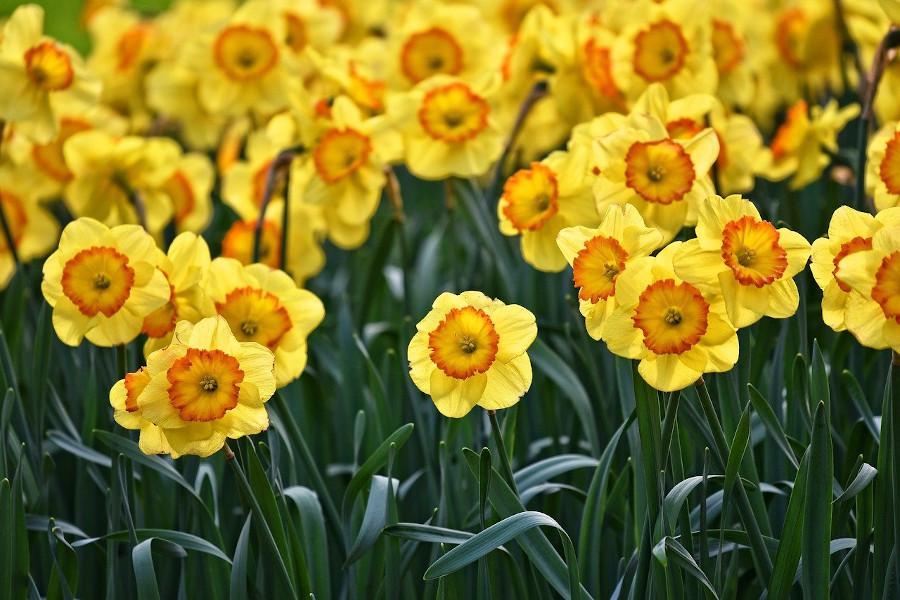 Narcyzy - piękne kwiaty ogrodowe